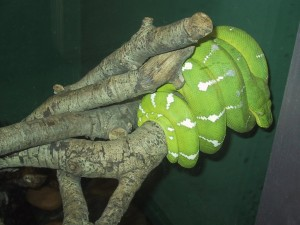 Green Snake At San Francisco Aquarium